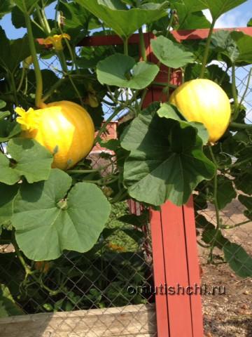 Урожай тыквы